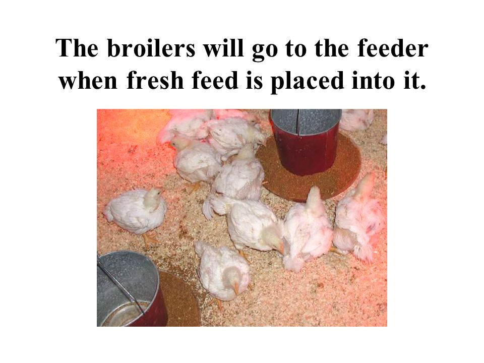 The broilers will go to the feeder when fresh feed is placed into it.