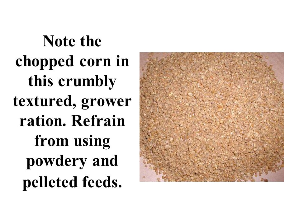 Note the chopped corn in this crumbly textured, grower ration. Refrain from using powdery and pelleted feeds.