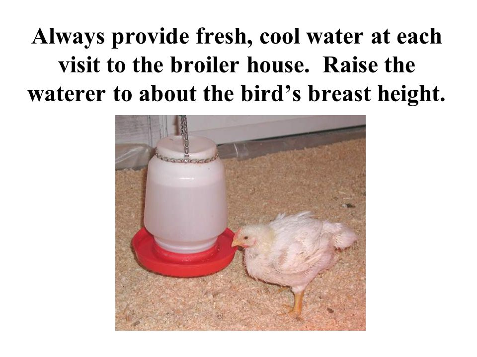 Always provide fresh, cool water at each visit to the broiler house. Raise the waterer to about the bird's breast height.