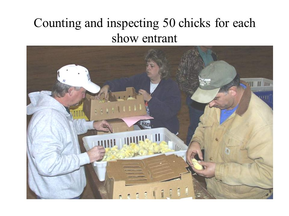 Counting and inspecting 50 chicks for each show entrant