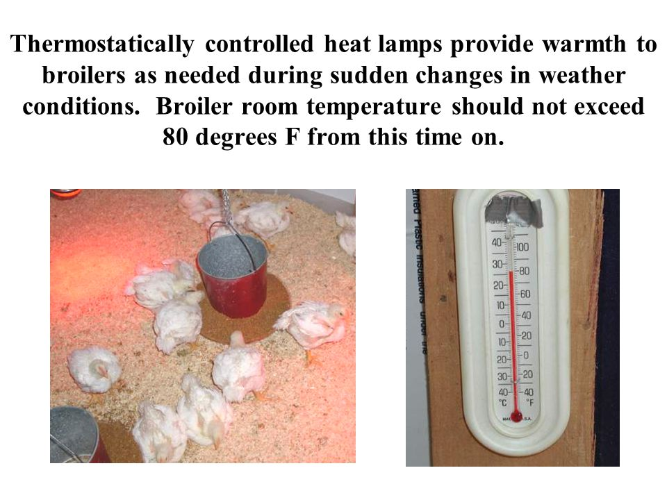 Thermostatically controlled heat lamps provide warmth to broilers as needed during sudden changes in weather conditions. Broiler room temperature shou