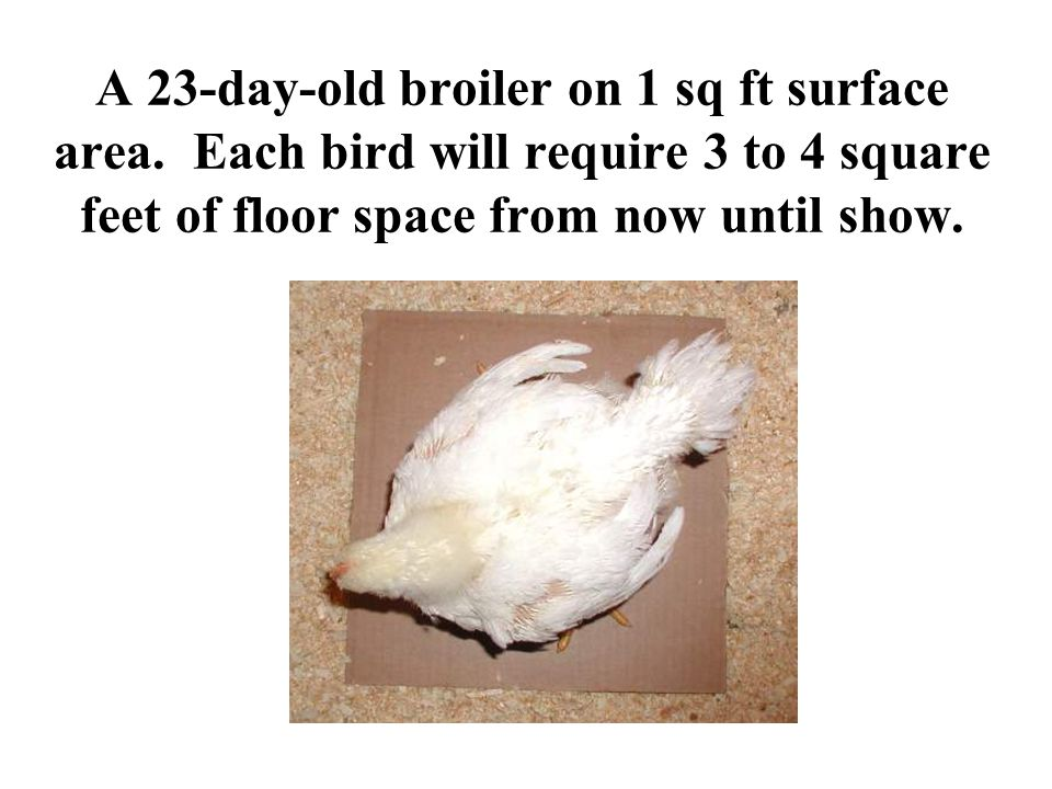A 23-day-old broiler on 1 sq ft surface area. Each bird will require 3 to 4 square feet of floor space from now until show.