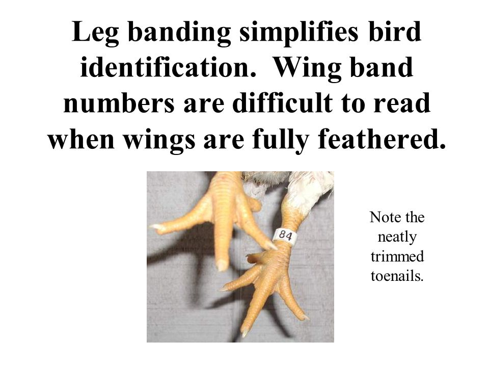 Leg banding simplifies bird identification. Wing band numbers are difficult to read when wings are fully feathered. Note the neatly trimmed toenails.