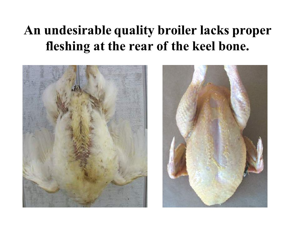 An undesirable quality broiler lacks proper fleshing at the rear of the keel bone.