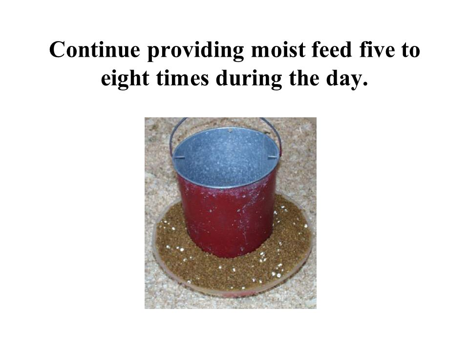 Continue providing moist feed five to eight times during the day.