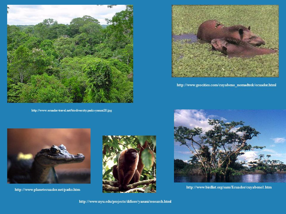 http://www.ecuador-travel.net/biodiversity.parks-yasuni20.jpg http://www.planetecuador.net/parks.htm http://www.nyu.edu/projects/difiore/yasuni/resear