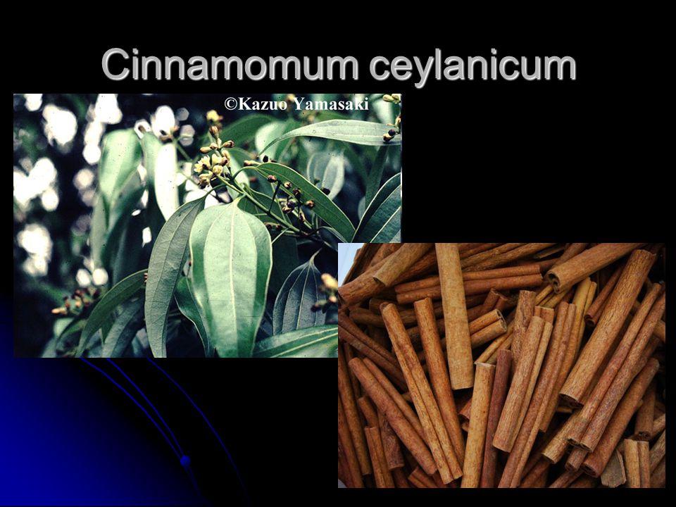 Cinnamomum ceylanicum