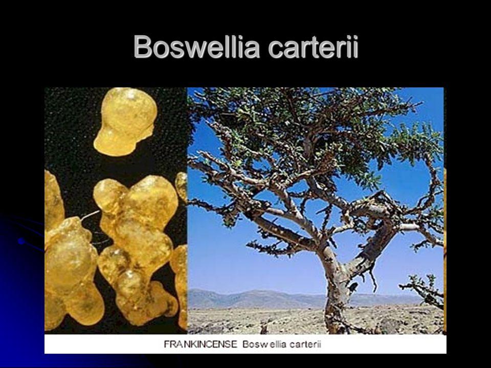 Boswellia carterii