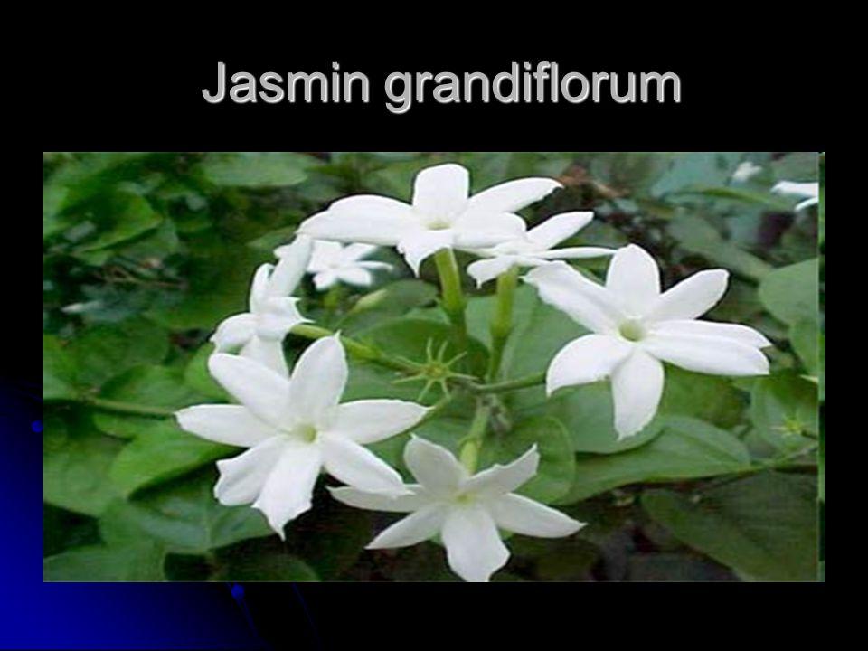 Jasmin grandiflorum Jasmin grandiflorum