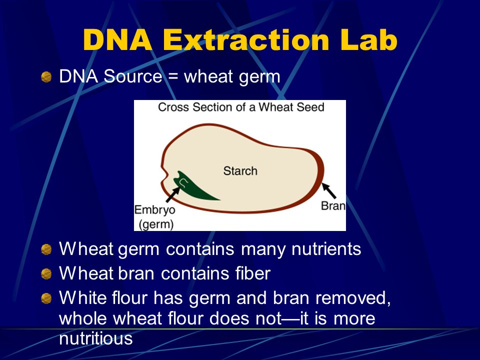 DNA Extraction Lab DNA Source = wheat germ Wheat germ contains many nutrients Wheat bran contains fiber White flour has germ and bran removed, whole w