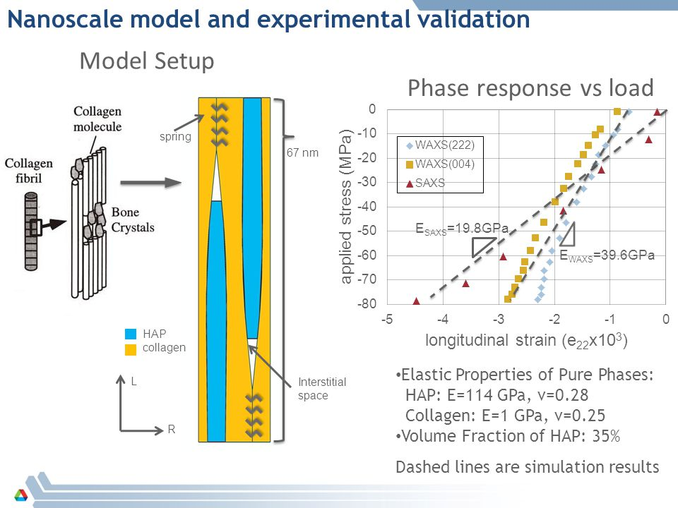 Phase response vs load Model Setup L R spring HAP collagen 67 nm Interstitial space E WAXS =39.6GPa E SAXS =19.8GPa Elastic Properties of Pure Phases: HAP: E=114 GPa, ν=0.28 Collagen: E=1 GPa, ν=0.25 Volume Fraction of HAP: 35% Dashed lines are simulation results Nanoscale model and experimental validation