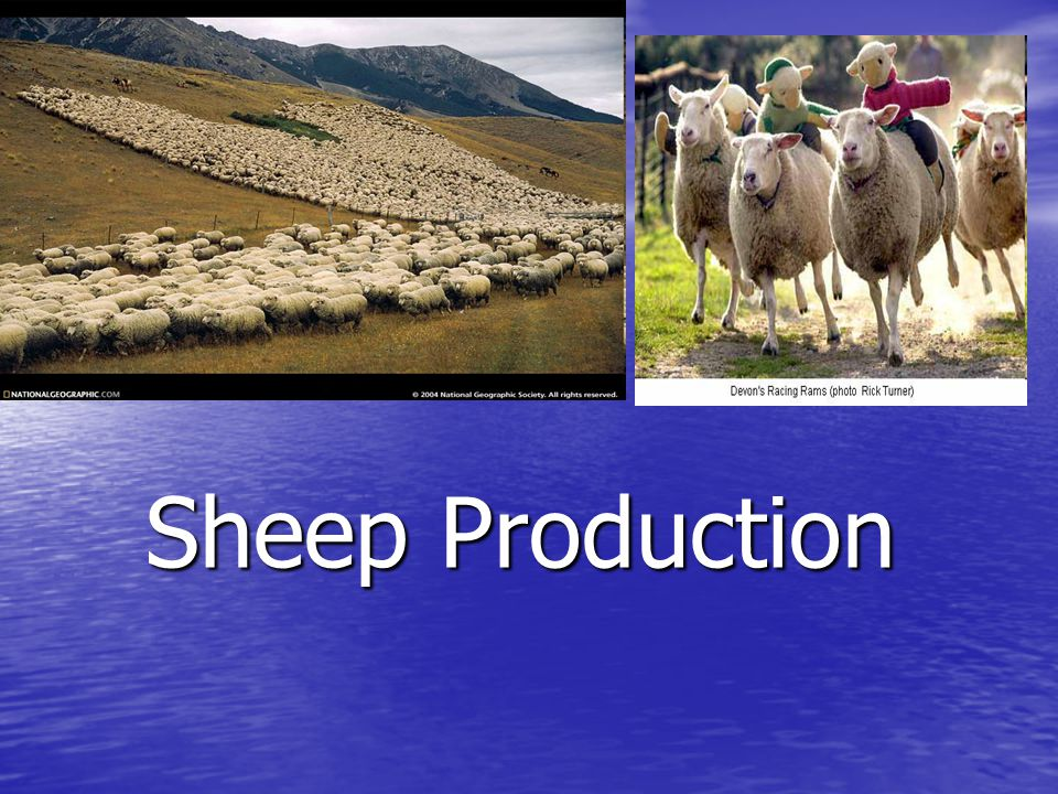Reasons for declining sheep production: Increasing problems of predators in many range and farm flock-producing states Increasing problems of predators in many range and farm flock-producing states Decreased government support – especially the demise of the wool support program Decreased government support – especially the demise of the wool support program Farmer diversification into other enterprises Farmer diversification into other enterprises Seasonal nature of lamb production and consumption Seasonal nature of lamb production and consumption Inadequate profit to keep producers producing.