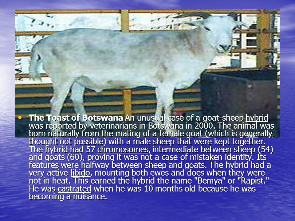 Scientific Classification KingdomAnimalia KingdomAnimalia PhylumChordata PhylumChordata SubphylumVertebrata SubphylumVertebrata ClassMammalia ClassMammalia OrderUngulata OrderUngulata SuborderArtiodactyla SuborderArtiodactyla FamilyBovidae FamilyBovidae GenusOvis (sheep) Capra (goat) GenusOvis (sheep) Capra (goat) Speciesaries (sheep) hires (goat) Speciesaries (sheep) hires (goat)