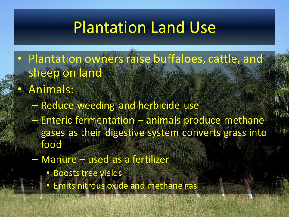 Plantation Land Use Plantation owners raise buffaloes, cattle, and sheep on land Animals: – Reduce weeding and herbicide use – Enteric fermentation –