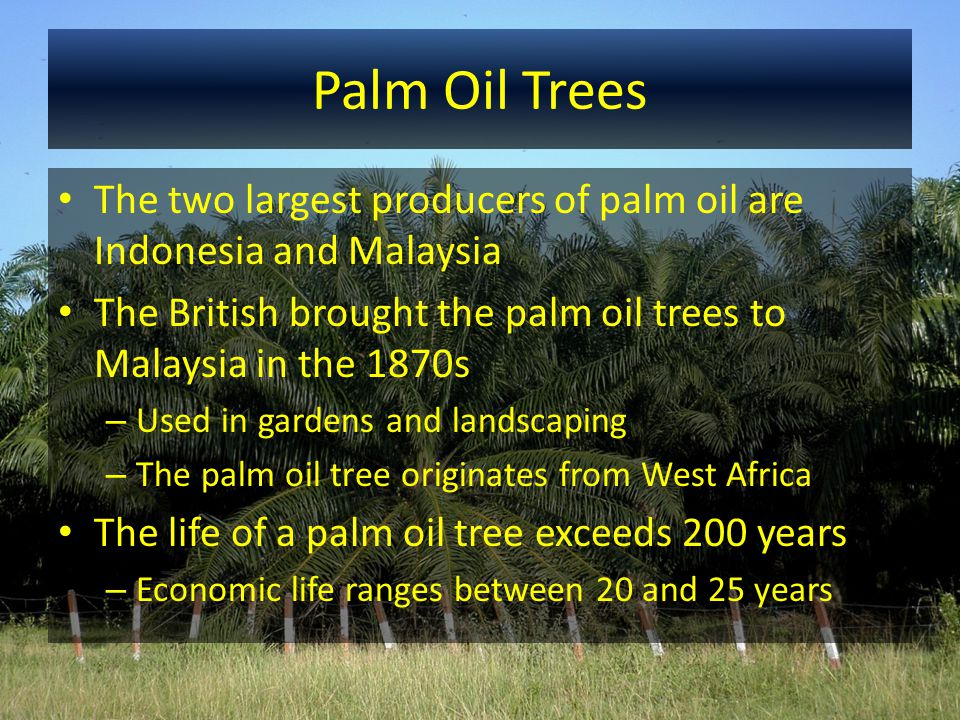 Palm Oil Uses and Products Malaysia refines the palm oil into a variety of products 1.Palm oil 2.Palm olein – a liquid oil at room temperature Used to fry foods Oil is thermally stable, no bad odors, and little oxidation 3.Palm stearin – more solid at room temperature 4.Palm oil acid distillates – leftover from refining Used in animal feeds, Vitamin E, and oleochemicals