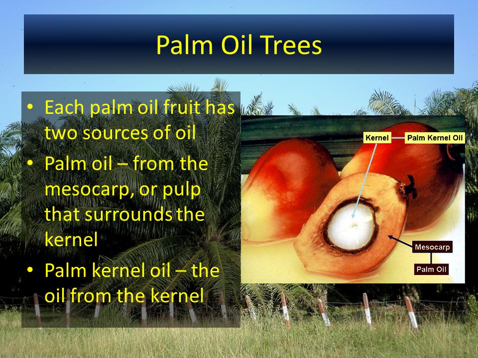 Palm Oil Trees Each palm oil fruit has two sources of oil Palm oil – from the mesocarp, or pulp that surrounds the kernel Palm kernel oil – the oil fr