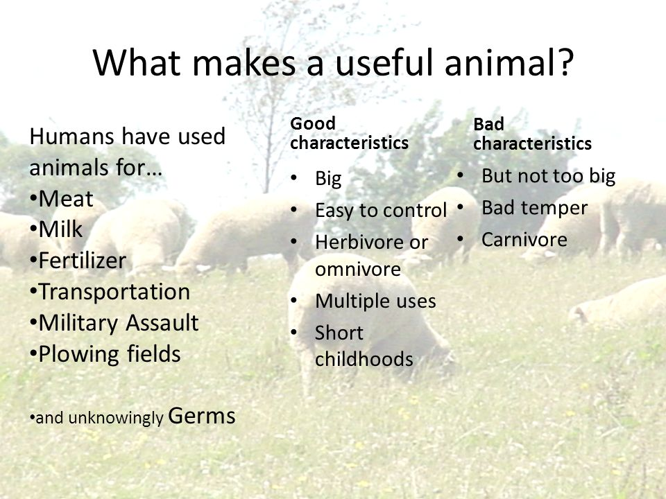 What makes a useful animal? Good characteristics Big Easy to control Herbivore or omnivore Multiple uses Short childhoods Bad characteristics But not