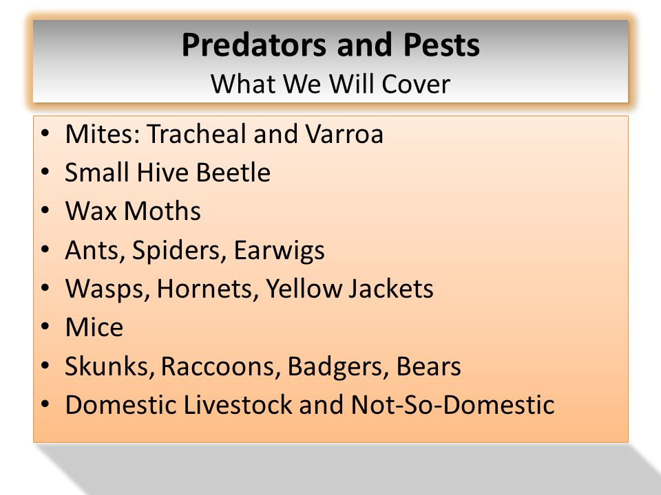 Predators and Pests What We Will Cover Mites: Tracheal and Varroa Small Hive Beetle Wax Moths Ants, Spiders, Earwigs Wasps, Hornets, Yellow Jackets Mice Skunks, Raccoons, Badgers, Bears Domestic Livestock and Not-So-Domestic