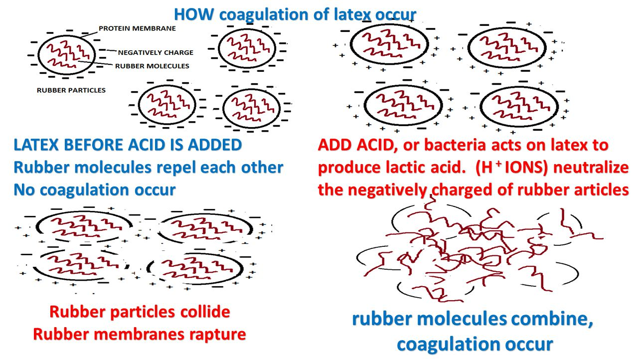 LATEX BEFORE ACID IS ADDED Rubber molecules repel each other No coagulation occur ADD ACID, or bacteria acts on latex to produce lactic acid. (H + ION