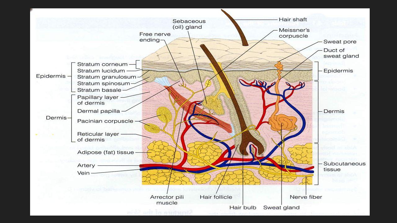 Layers of Skin  Epidermis  Dermis  Subcutaneous Membrane  Hypodermis  Epidermis  Dermis  Subcutaneous Membrane  Hypodermis