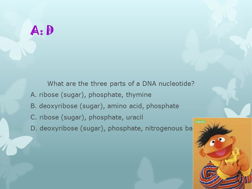 What are the three parts of a DNA nucleotide. A. ribose (sugar), phosphate, thymine B.
