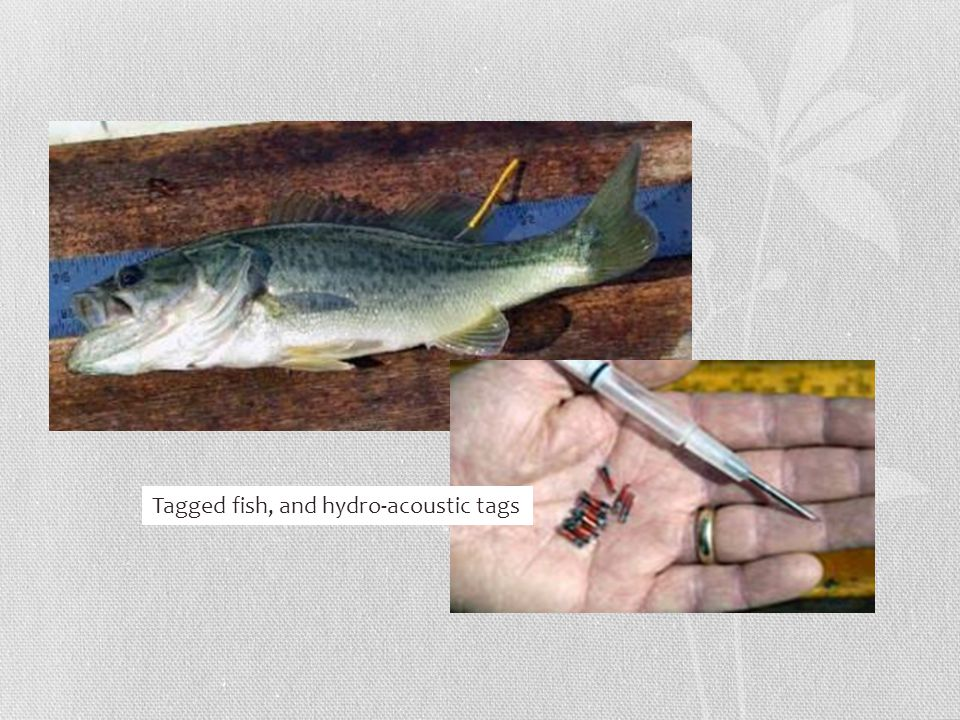 Tagged fish, and hydro-acoustic tags