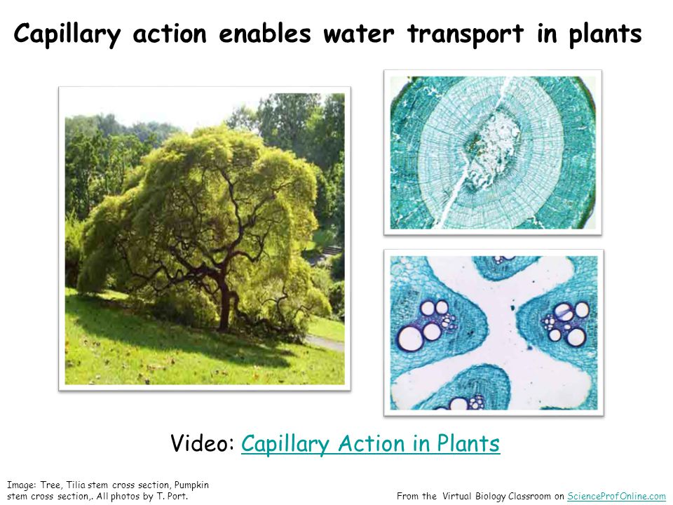 Capillary action enables water transport in plants Video: Capillary Action in PlantsCapillary Action in Plants Image: Tree, Tilia stem cross section, Pumpkin stem cross section,.