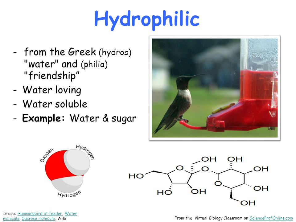 Hydrophilic From the Virtual Biology Classroom on ScienceProfOnline.comScienceProfOnline.com -from the Greek (hydros) water and (philia) friendship -Water loving -Water soluble -Example: Water & sugar Image: Hummingbird at feeder, Water molecule, Sucrose molecule, WikiHummingbird at feederWater moleculeSucrose molecule