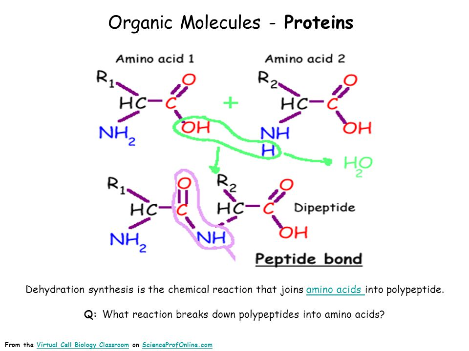 Protein Catabolism Image: Protein catabolism, BoumphreyfrProtein catabolism From the Virtual Cell Biology Classroom on ScienceProfOnline.comVirtual Cell Biology ClassroomScienceProfOnline.com