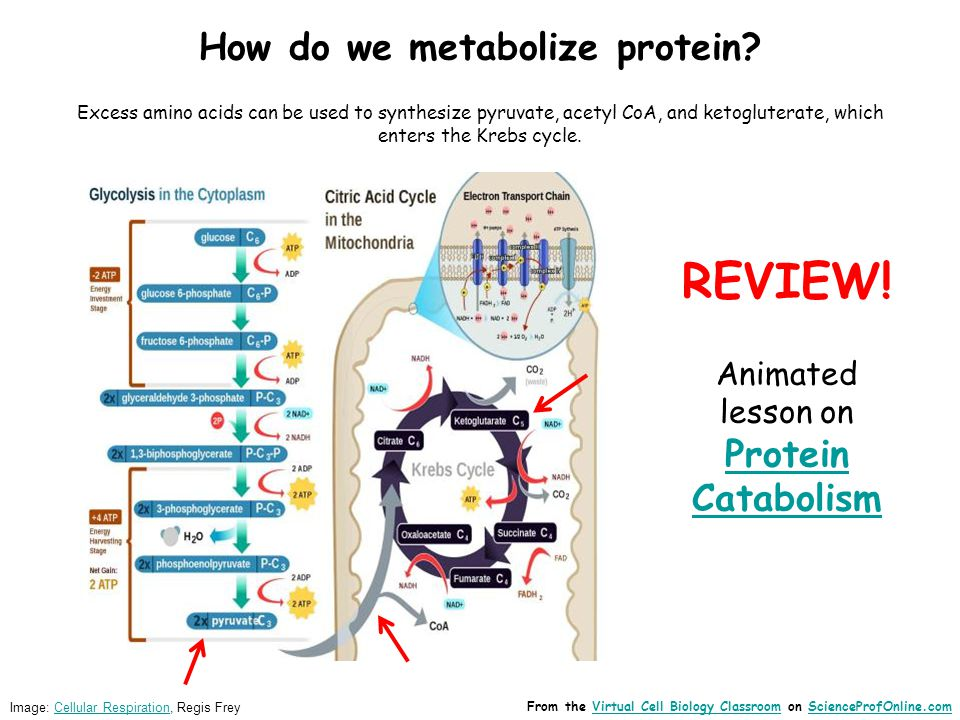 Image: Cellular Respiration, Regis FreyCellular Respiration How do we metabolize protein.