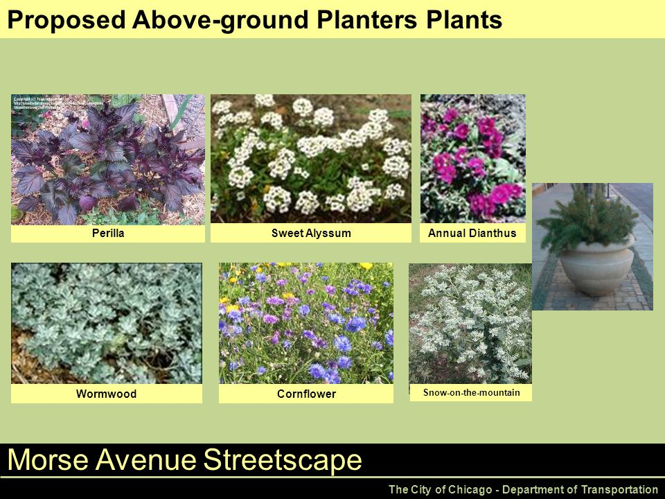 Morse Avenue Streetscape The City of Chicago - Department of Transportation Proposed Above-ground Planters Plants Wormwood Annual DianthusSweet Alyssum Snow-on-the-mountain Perilla Cornflower