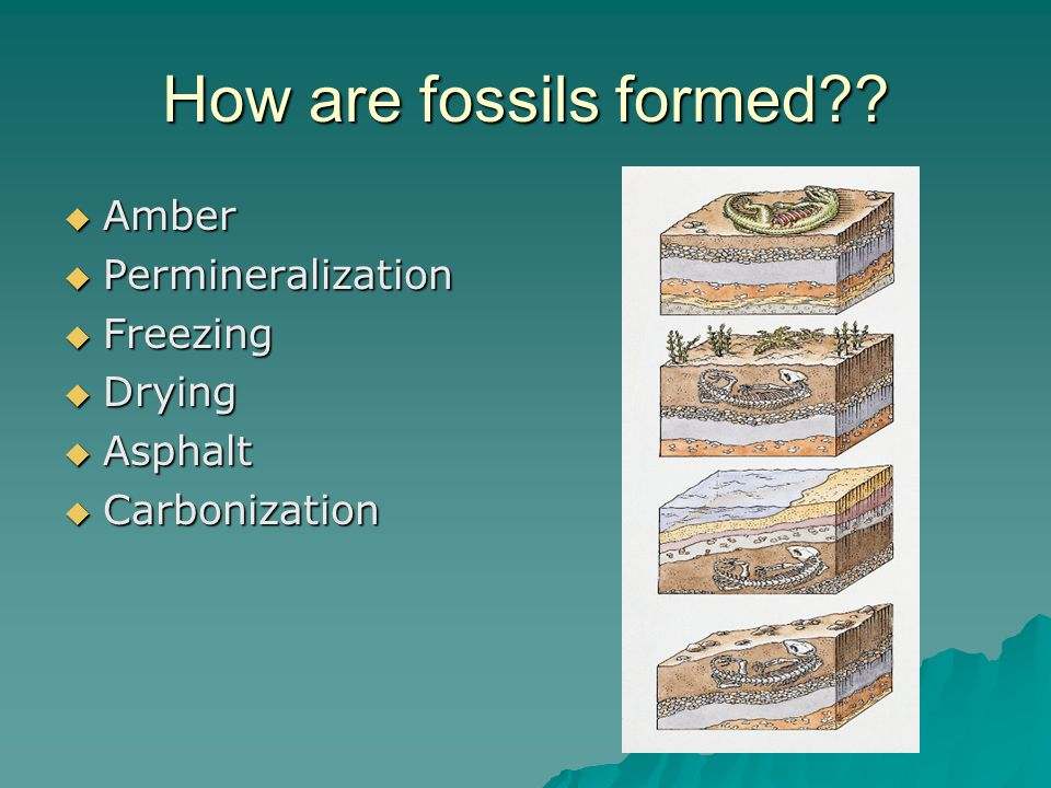 How are fossils formed??  Amber  Permineralization  Freezing  Drying  Asphalt  Carbonization