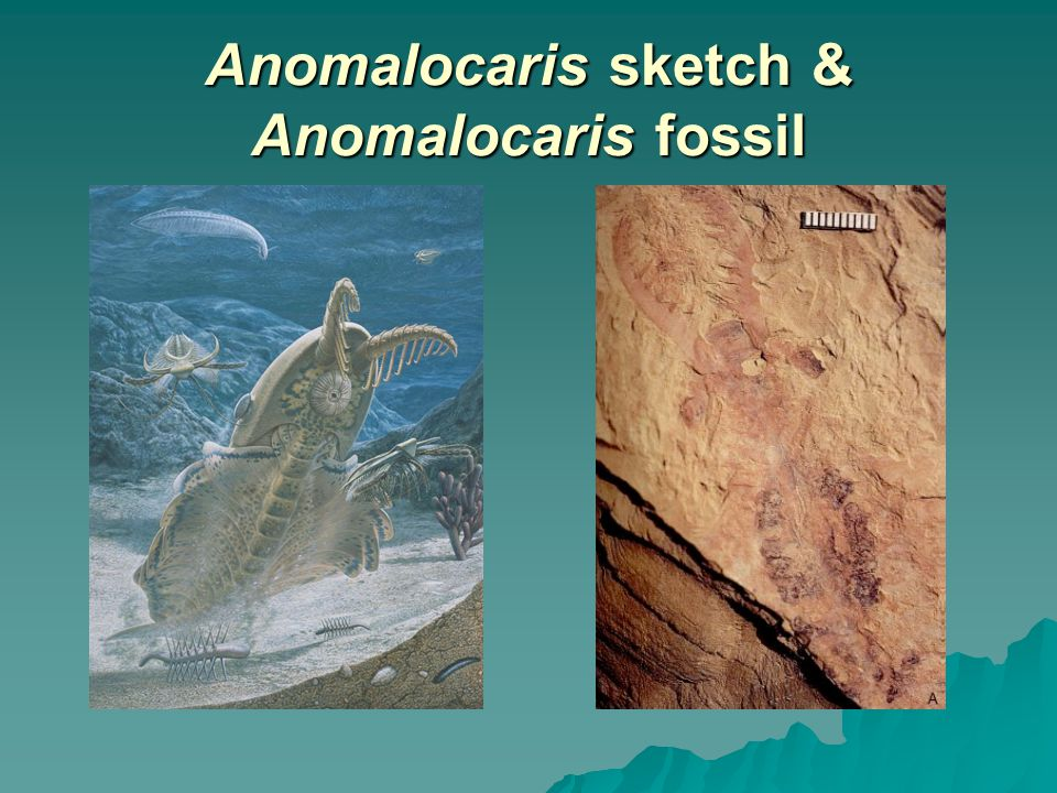 Anomalocaris sketch & Anomalocaris fossil