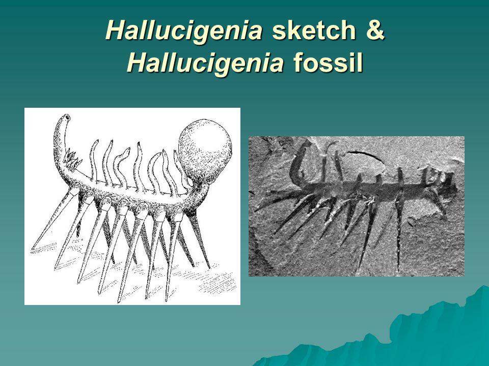 Hallucigenia sketch & Hallucigenia fossil
