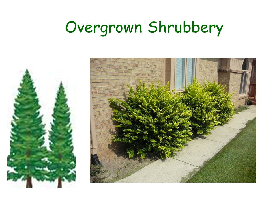 Overgrown Shrubbery.