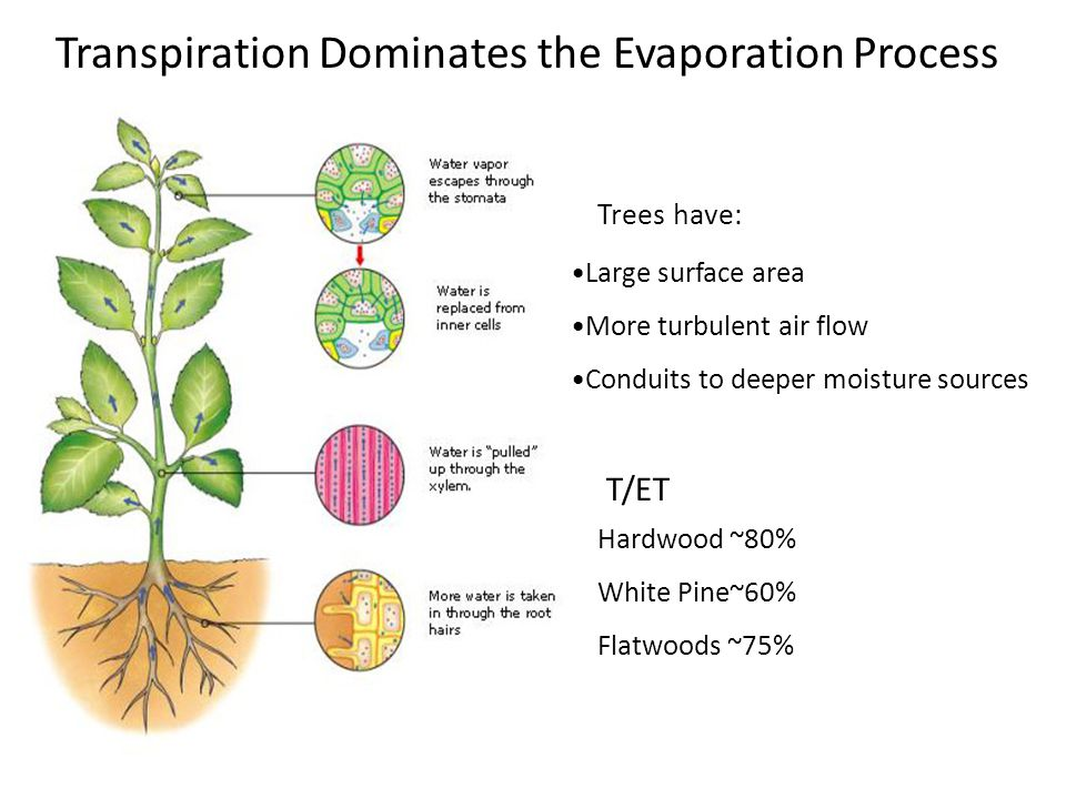 Transpiration Dominates the Evaporation Process Large surface area More turbulent air flow Conduits to deeper moisture sources Hardwood ~80% White Pine~60% Flatwoods ~75% T/ET Trees have: