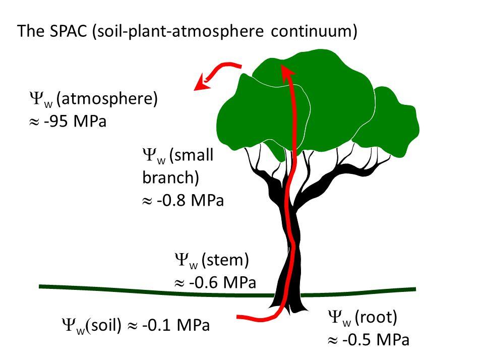  w  soil)  -0.1 MPa  w (root)  -0.5 MPa  w (stem)  -0.6 MPa  w (small branch)  -0.8 MPa  w (atmosphere)  -95 MPa The SPAC (soil-plant-atmos