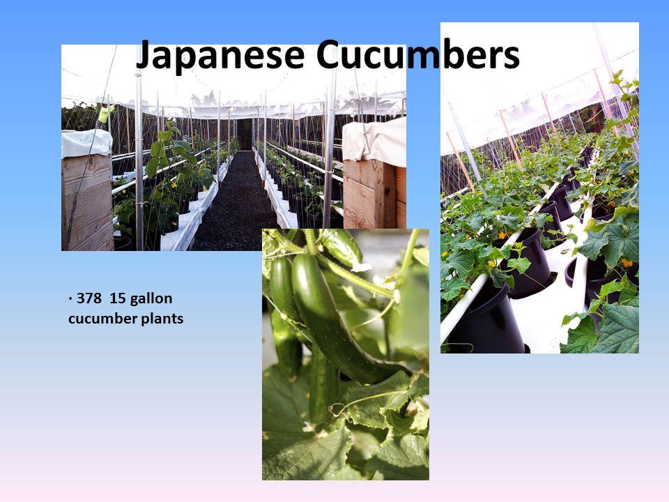 Japanese Cucumbers · 378 15 gallon cucumber plants