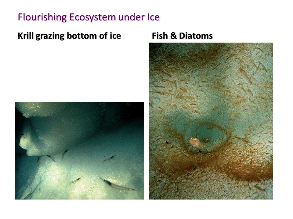 Flourishing Ecosystem under Ice Krill grazing bottom of ice Fish & Diatoms