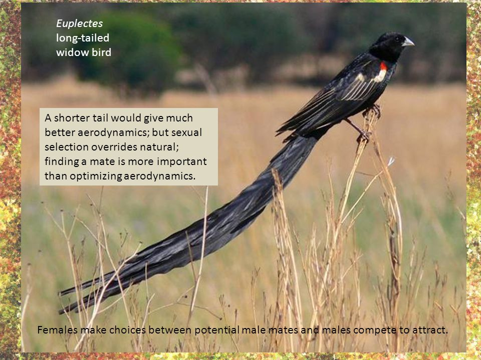 Euplectes long-tailed widow bird A shorter tail would give much better aerodynamics; but sexual selection overrides natural; finding a mate is more im