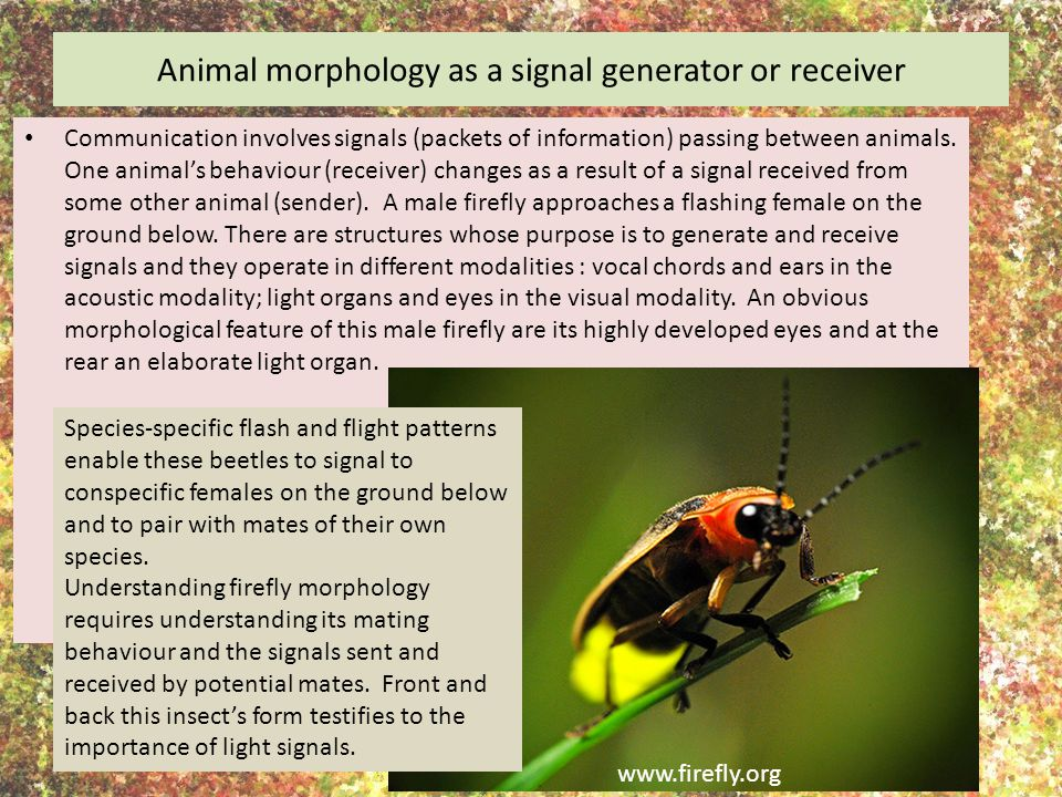 Animal morphology as a signal generator or receiver Communication involves signals (packets of information) passing between animals. One animal's beha