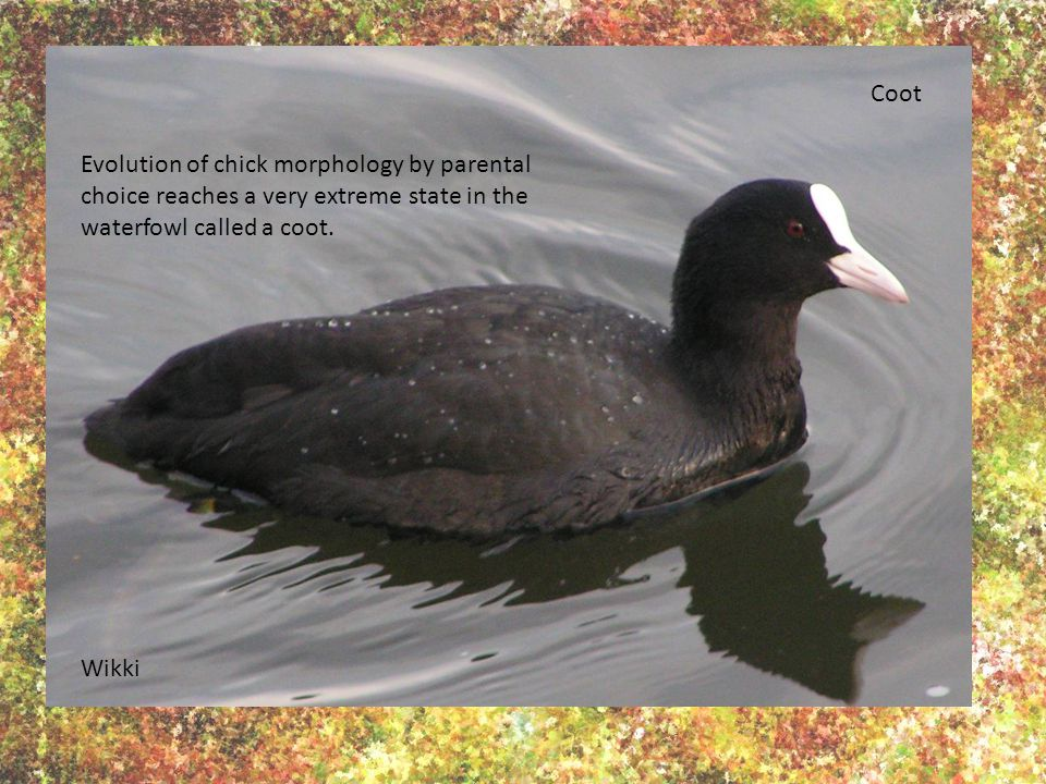 Wikki Coot Evolution of chick morphology by parental choice reaches a very extreme state in the waterfowl called a coot.