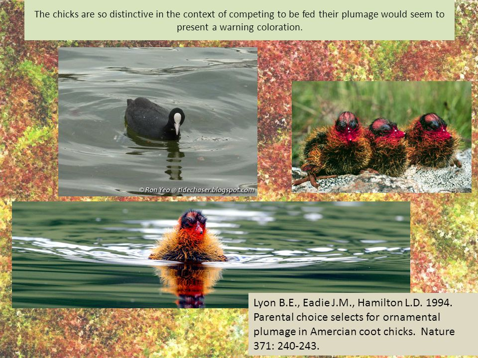 Lyon B.E., Eadie J.M., Hamilton L.D. 1994. Parental choice selects for ornamental plumage in Amercian coot chicks. Nature 371: 240-243. The chicks are