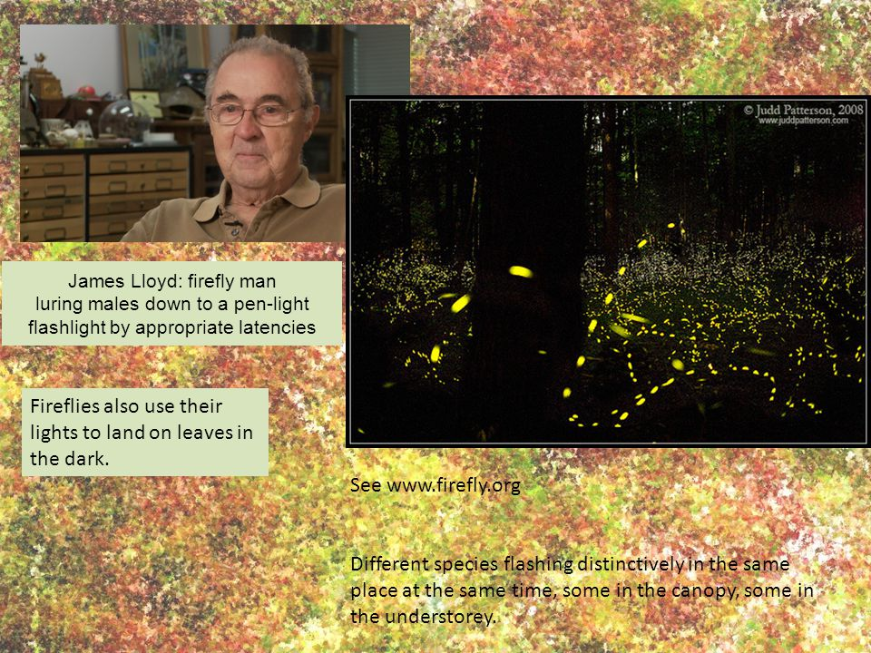 James Lloyd: firefly man luring males down to a pen-light flashlight by appropriate latencies Fireflies also use their lights to land on leaves in the dark.