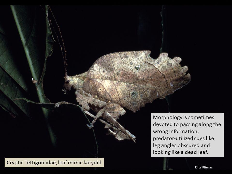 Dita Klimas Cryptic Tettigoniidae, leaf mimic katydid