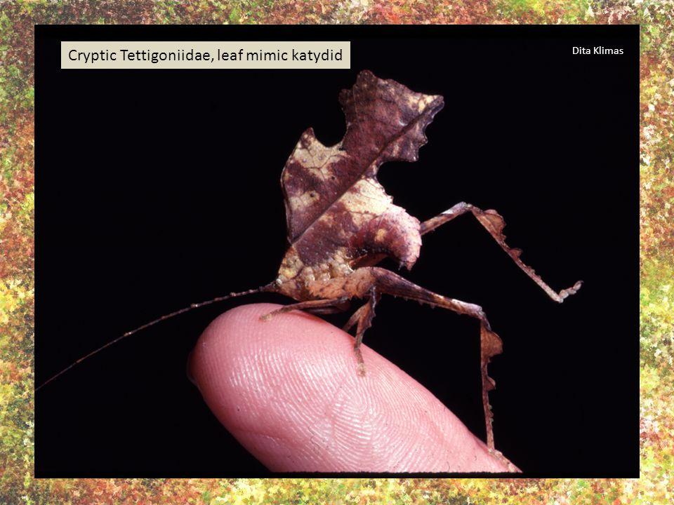 Costa Rica, acanthodine katydid mimicking lichen. A katydid mimicking tree bark. G.K. Morris