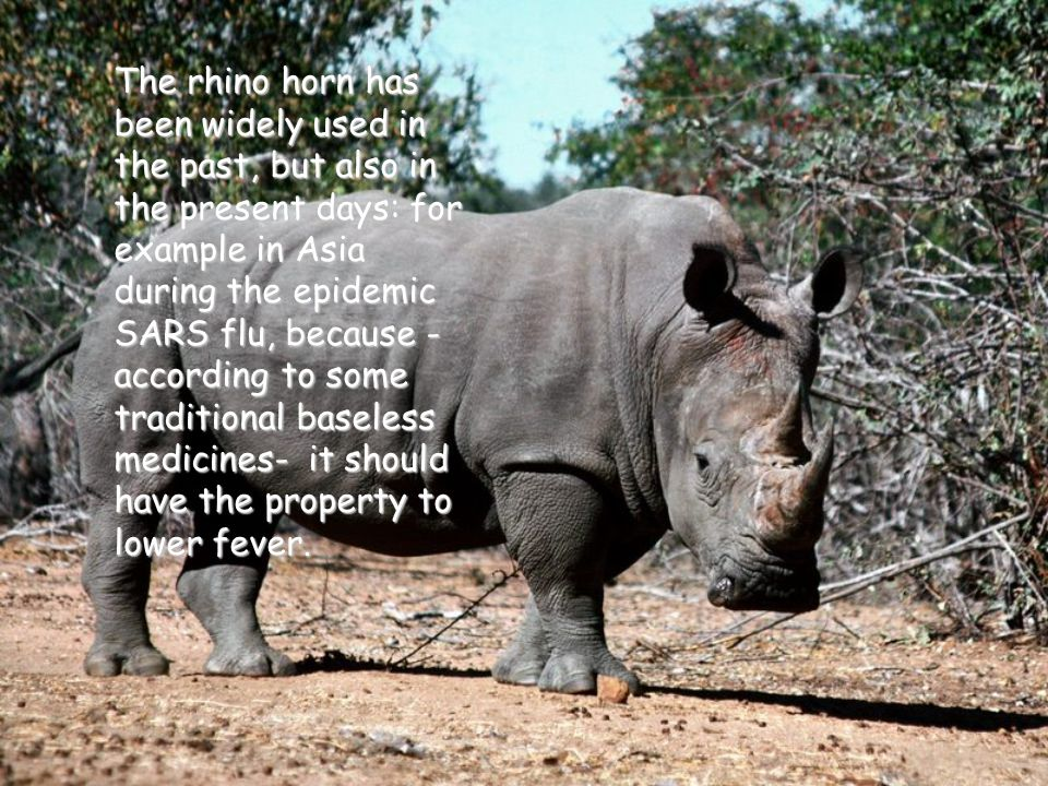 The rhino horn has been widely used in the past, but also in the present days: for example in Asia during the epidemic SARS flu, because - according to some traditional baseless medicines- it should have the property to lower fever.