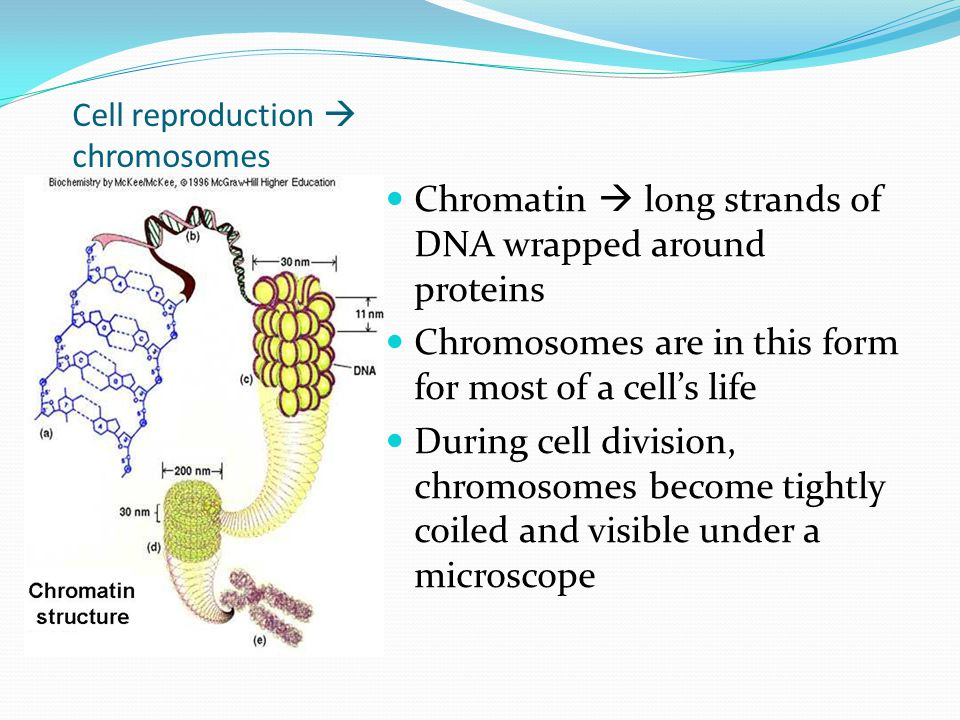Cell reproduction  chromosomes Chromatin  long strands of DNA wrapped around proteins Chromosomes are in this form for most of a cell's life During cell division, chromosomes become tightly coiled and visible under a microscope