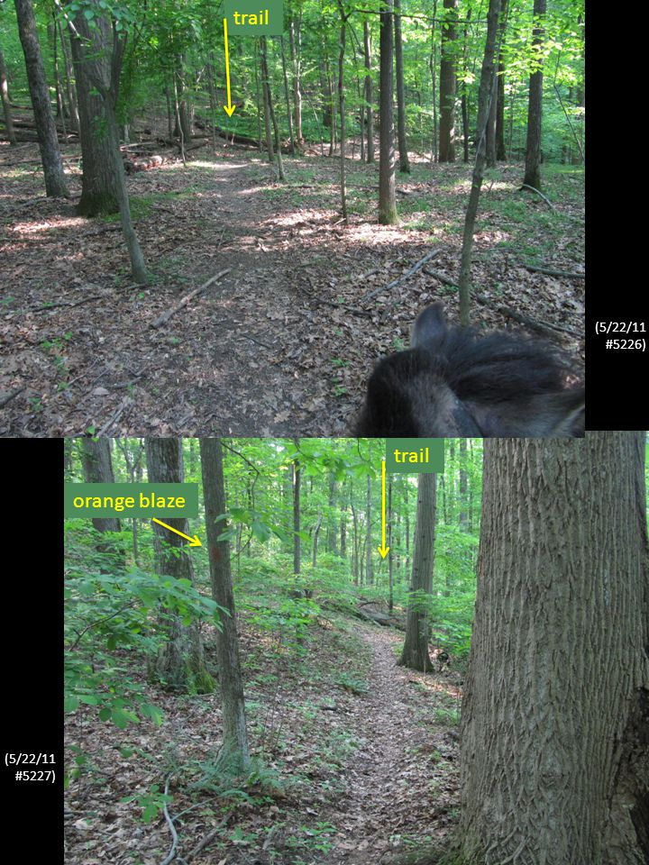 As shown in these un-selected photographs, typical for almost all its length, the trail is not identifiable by any major depression in the ground, but rather only by the fallen leaves being less dense and by orange trail blazes on occasional trees.