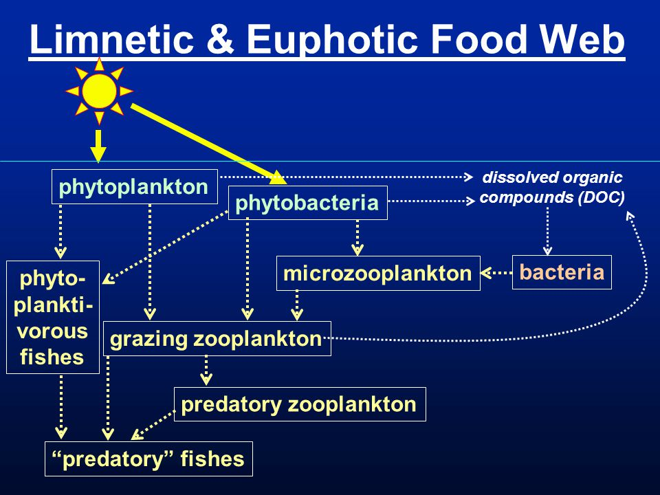 Limnetic & Euphotic Food Web grazing zooplankton predatory zooplankton bacteria phytoplankton phytobacteria dissolved organic compounds (DOC) predatory fishes phyto- plankti- vorous fishes microzooplankton